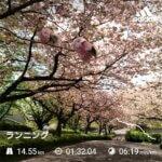 尾根緑道の桜のトンネル